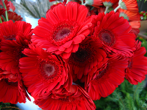 Red Gerbera Daisies CC BY Clyde Robinson