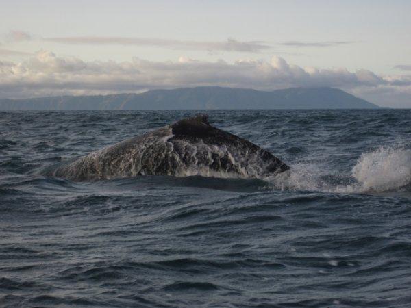 Humpback in Cook Strait