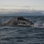 Humpback in Cook Strait