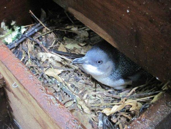 Nesting Little Blue Penguin/Korora
