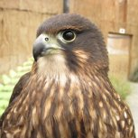 Karearea - Native New Zealand Falcon